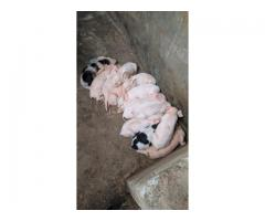 Piglets from on 1 to 3 months