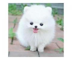 Absolutely Healthy Teacup Pomeranian Puppy