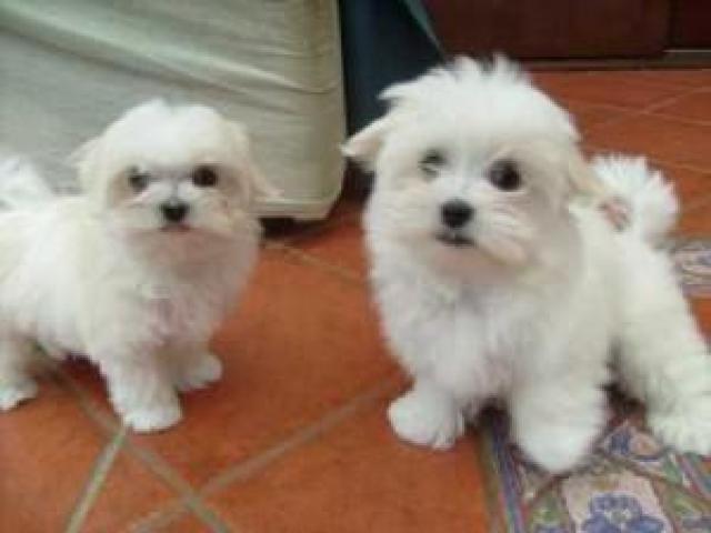 kc reg Maltese puppies