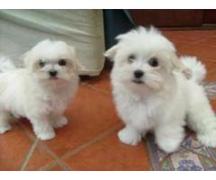 kc reg Maltese puppies