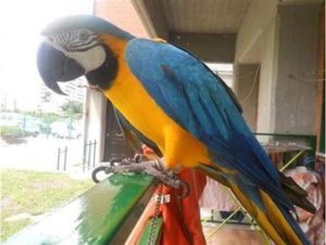 Blue and gold macaw for X MAX GIFT