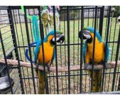 Blue and gold macaw LOW PRICE