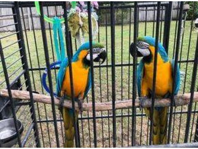 Blue and gold macaw for X MAX baby