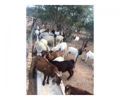 Buy Boer and Kalahari goats online