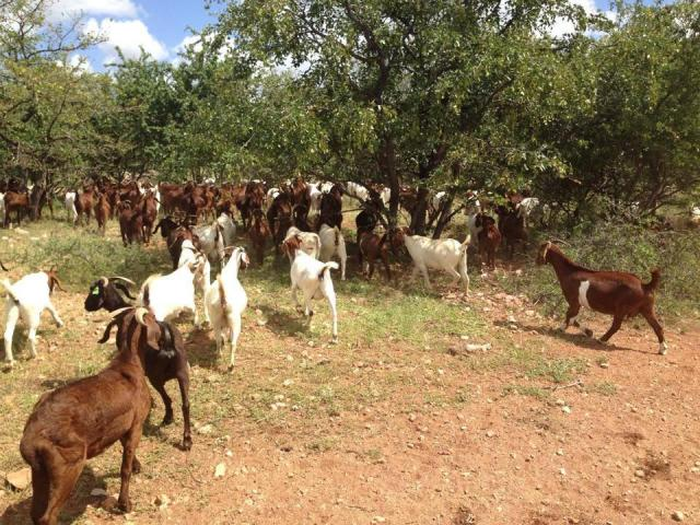 Order Boer and Kalahari goats online