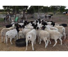 Buy dorper and Merino lambs online