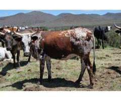 Bulls and heifers for sale