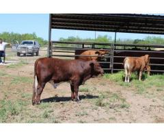 cattle and calves for sale