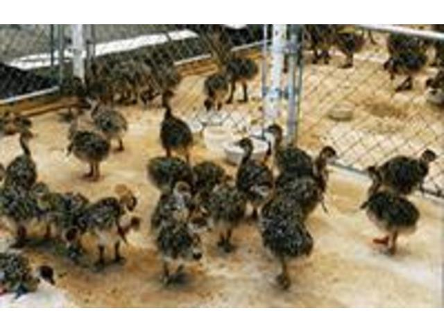 Where to order Ostrich chicks and eggs