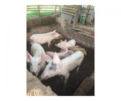 South African gilt pigs suppliers