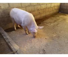 Buy gilt pigs online