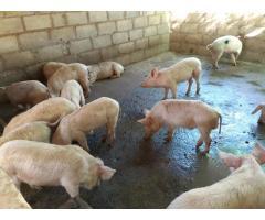 Order gilt pigs online