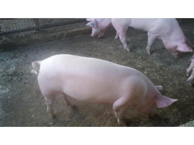 gilt pigs for sale