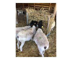 Dorper Rams And Ewes