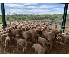 Merino Rams And Ewes For Sale