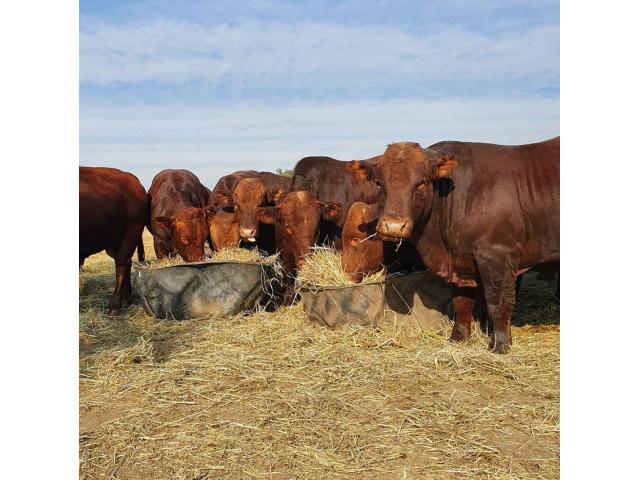 Bonsmara, Brahman And Nguni Cattle For Sale