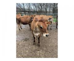 Holstein Friesian And Jersey Cows For Sale