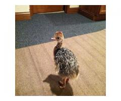 Ostrich Chicks For Sales