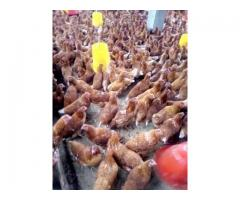 Hybrid Layer Chickens And Fresh Farm Eggs For Sale
