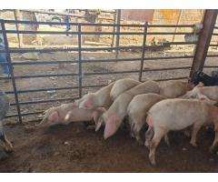 Large White Pigs For Sale